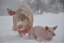 Schweinewanderung