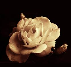 fette rose