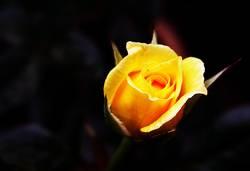 rose glühend