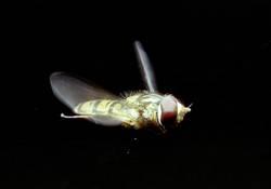 Schwebfliege im Flug
