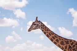 Giraffes in masai mara in kenya africa