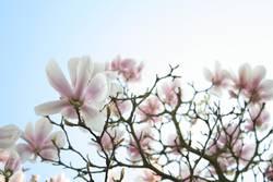 Magnolienbaum  Nr.1