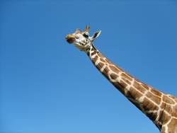 Eine Giraffe will hoch hinaus!