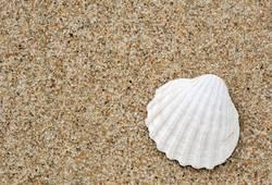 Weiße Muschel am Strand