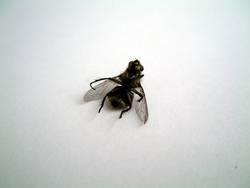 betrunkene fliege #2