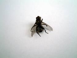betrunkene fliege #3