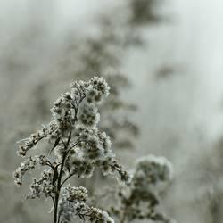 Winterstaude