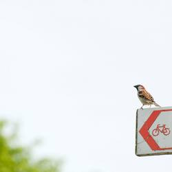 Vogel sucht Fahrrad oder: Quo Vadis, Spatz?