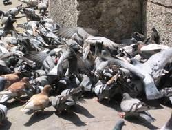 Taubenhaufen