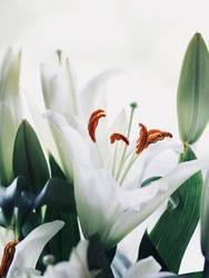 Lilien Blumen Blumenstrauss