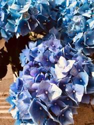 Hortensien blue one