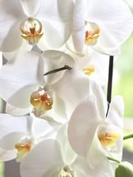 Orchideen in weiß