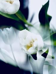 Doppelbelichtung weiße Tulpen
