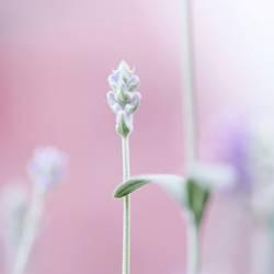 Lavendel zur rosa Stunde