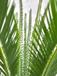 Palme Palmwedel Wachstum