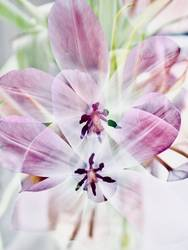 Tulpen Doppelbelichtung