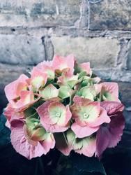 Hortensien pink one