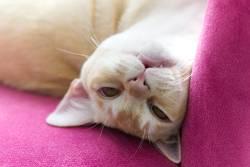 Verrückte Burma Katze