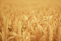 Weizenfeld im Hochsommer