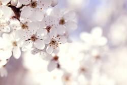 Blühender Schlehendorn