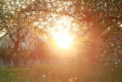 Alte Apfelbäume in warmem Licht