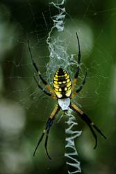 The Black and Yellow Argiope