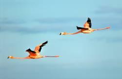 größere Flamingos