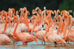 Flamingos, Phoenicopterus roseus, stehend im Fluss