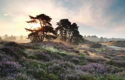 Kiefern und Heide blüht bei nebligen Sonnenaufgang