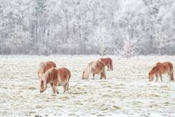 few pony grazing on snowy pasture in winter