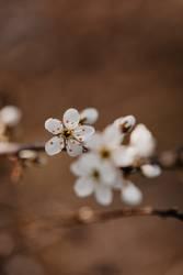 Birnbaum Blüten