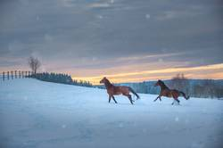 Two horses (Westfalen) gallop through the snow
