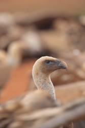 Griffon Vulture (Gyps fulvus) released