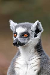 Portrait of a ring-tailed lemur (Lemur catta)