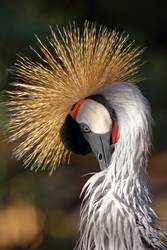 Close-up of a crowned crane