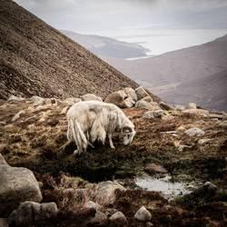 Bergschaf Isle Of Skye Schottland