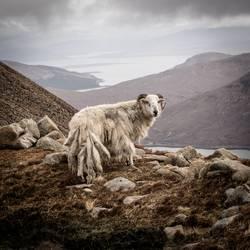 Isle of skye Schottland Schaf