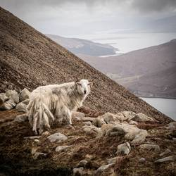 Schottland Bergschaf