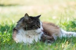 Norwegische Waldkatze im Gras