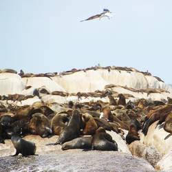 Pelzrobben auf Duiker Island, Südafrika