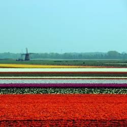 Tulpenfelder mit Windmühle