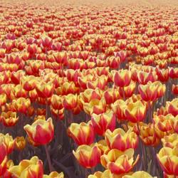 Tulpenmeer - Mehr Tulpen
