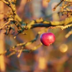 letzter Apfel