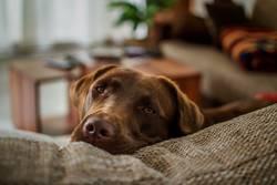 Labrador Dayna