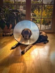 Labrador mit Halskrause