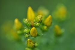 Gelbgrüne Knospen