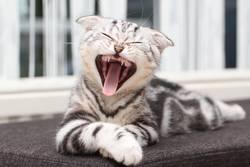 Das Kätzchen gähnt