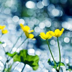 Dance of the Yellow Flowers and Bokeh
