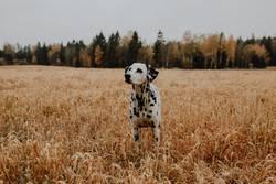 Dalmatiner Hund steht im Kornfeld Getreidefeld