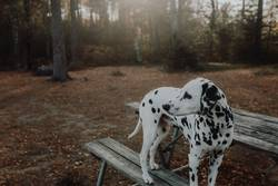Dalmatiner Hund steht im Wald auf Bank mit Gegenlicht